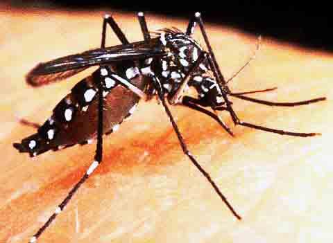 Bactéria e novas vacinas podem livrar Brasil da dengue em poucos anos